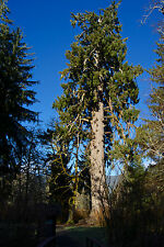 1 Sitka Spruce 1-2ft Tall In 2L Pot, Picea Sitchensis, Worlds Largest Spruce