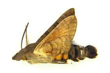 Unmounted Butterfly/Sphingidae - Macroglossum gyrans, male, A-