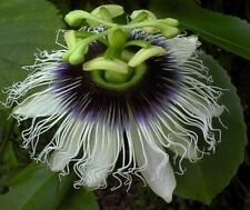 Passiflora Black Beauty 8 seeds