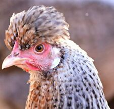 Crested Rare Breed Collection of Hatching Eggs Direct from Greenfire Farms