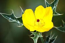 Argemone mexicana MEDICINAL cardosanto prickly poppy cardo santo plant 500 seeds