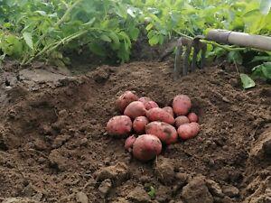 Hof Lenz Kartoffeln Laura vorw. festkochend 10Kg im Karton Heidekartoffeln 2021