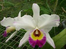 Lc.Cheryl Mills, Outstanding Hybrid! Large Plant! Anceps Hybrid!