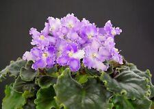 Moonsilk Blatt/ leaf African Violet Usambaraveilchen