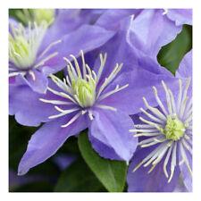 Clematis viticella Justa-Clematis Plant in 10.5 cm pot