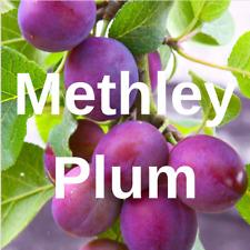 "2 Methley PLUM FRUIT TREE Cutting Rooting Grafting Scion METHLEY  PLUM    10-12"""
