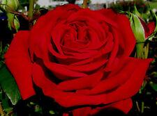 Rose bush Hybrid Tea Bare Root Plant 'loving memory'