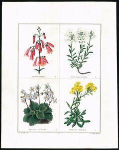 Flowers, Ch.Barbata, Evergreen Candytuft Hand-Col., Botanic Garden, Maund 1826