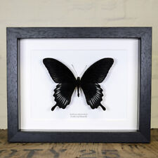 Swallowtail Butterfly in Box Frame (Papilio deiphobus)