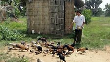 Animal Feeds Feeding 30 Books CD Feed Livestock Farm Animals Poultry Chicken Pig