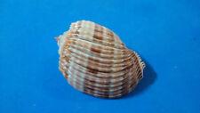 Formosa/shells/Harpa costata 63mm.f+++