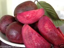 25 Seeds Exotic Purple Guava Seeds Superior Taste Tropical Fruit Seeds