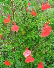 Salvia Huntington Red in 50mm forestry tube perennial plant