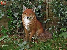 More details for sitting fox life size. ultra realistic. nice home or garden ornament. vivid arts