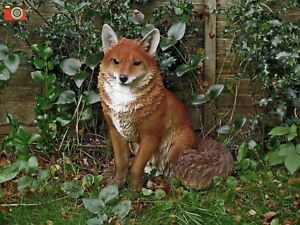 SITTING FOX LIFE SIZE. Ultra Realistic. Nice Home or Garden Ornament. Vivid Arts