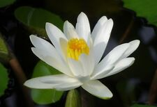 Nymphaea alba European White Water Lily Flower Seeds Aquatic Plant Star Shape