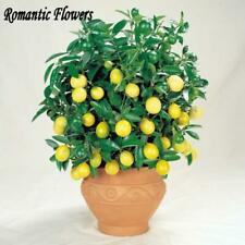 For Home Grain Lemon Seeds Tree High Survival Rate Bonsai 30 Pcs Fruit Seeds