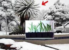 2 Mazari Palmen winterharte Deko Dekoration für den Garten Balkon die Terrasse