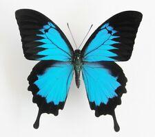 Papilio ulysses ssp. ulysses Männchen