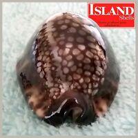 GEM! Cypraea maculifer hawaiiensis 50.6mm BEAUTIFUL HAWAIIAN BEAUTY