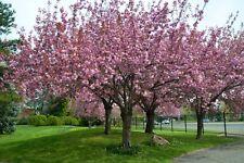 Japanese Flowering Cherry (Prunus serrulata - Cerasus serrulata) 10 seeds