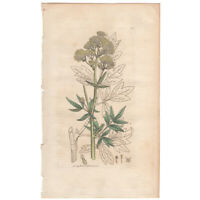 Sowerby antique 1st ed 1795 hand-colored engraving botanical Pl 367 Meadow-rue