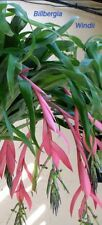 "Billbergia Windii. ""Angel's Tears"". 9 cm pot. Tropical house plant. Stunning fl."