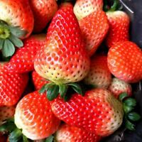Hot 200x Giant Strawberry Seeds Rare Fragaria Huge Fruit Green Neu Sale Nett