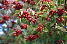 Ornamental Tree Crataegus Persimilis Prunifolia Prunifolia Hawthorn 9L Pot