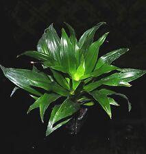 "Dracaena Janet Craig Compacta 'JCC' Shipped in 3"" Pot Easy Tropical Houseplant"