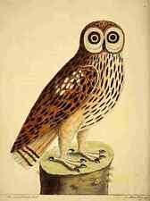 A4 Photo Albin Eleazar Natural History of Birds 1738 Brown Owl Print Poster