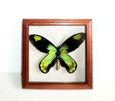 Ornithoptera victoriae victoriae male in frame made of expensive wood