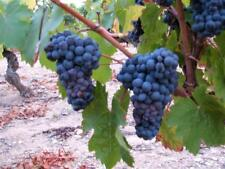 Grape Seeds - LA ROCHELLE - Black Fruit  - NON GMO - MEDICINAL - 15 Seeds