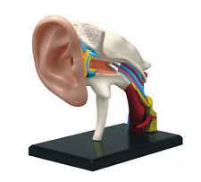 4D-Vision Human Ear Anatomy Model Dental Office Decoration Teaching Model New
