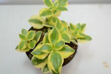 Pianta di NEW GREEN Succulente Piante grasse succulenti vaso 10 grassa