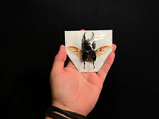 Entomologie Insecte Coléoptére Lucanidae Dorcus alcides ailes ouvertes!!