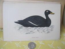 Vintage Print,VELVET SCOTER,History British Birds,Morris,c1870