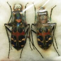 D CICINDELIDAE PAIR Cicindela chinensis japonica FROM JAPAN