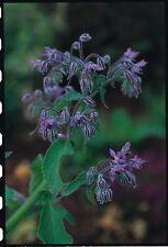 Herb - Borage - 300 Seeds