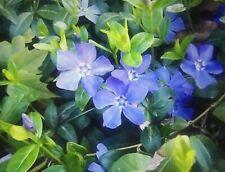 10+Periwinkle Vinca Myrtle Evergreen Bare Root Groundcover🌱Connecticu t Garden