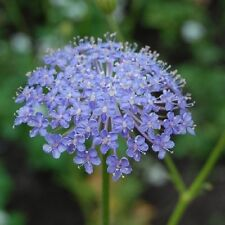 Rottnest Island Daisy Seed - Drought Tolerant Very Pretty (Trachymene caerulea)