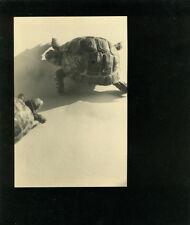 Photo Georges Lugon (1896-1989 ) Tortu Animal Vers 1950