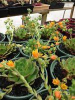 ECHEVERIA RAMILLETE Rare Succulent Plant Succulents & Cacti
