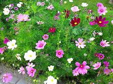 Schmuckkörbchen (Cosmea) Sensation Mischung - Schnittblume Blumen - 100 Samen