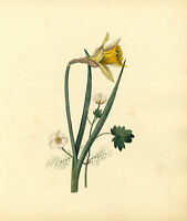 Daffodil & Water Crowfoot Flower – Original c.1830s watercolour painting