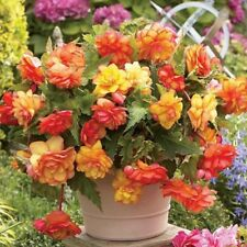 Begonia hang-downing Terry mix F1 Flower seeds / Perennial