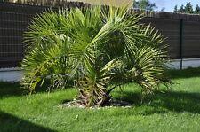 Butia eriospatha - Wollige Geleepalme - 5 Samen - Palmen Samen