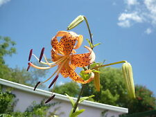 2 SEEDS ~~TIGER LILY ~~ FREE POSTAGE