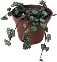 """Ceropegia woodii String of Hearts Hearts Entangled 2.5"""" Pot Collector Series"""