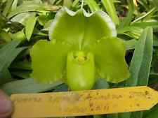 QOB Orchid Plant Green Complex Paphiopedilum Green Complex Hybrid P142